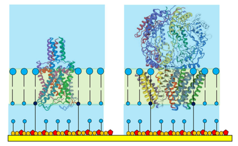 Ion channel proteins shown to scale in a tethered membrane with protein 'superstructure' housed outside the tethaPlasm