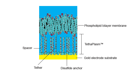 Tethered membrane system with phospholipid bilayer above gold electrode with hydrophilic polyethylene glycol PEG chains